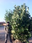 A nursery photo of a 10ft Laurel, one of 150 supplied and planted as an instant hedge!