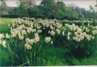 25,000 Narcissus in variety drift planted for a fantastic Spring display.